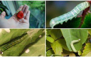 Как бороться с гусеницами на клубнике