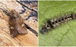 Бабочка и гусеница совки – фото, описание, как бороться