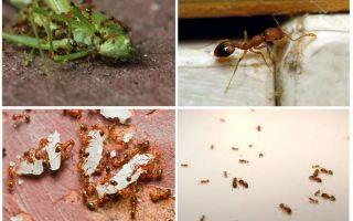 Фараоновы муравьи — фото, описание и как избавиться