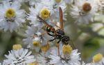 Осиный мед – делают ли осы мед