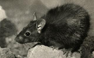 Черная крыса — фото и описание