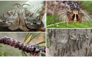 Гусеница и бабочка сибирского шелкопряда – фото и описание
