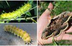 Гусеница павлиний глаз — фото и описание