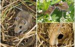 Где живут мыши