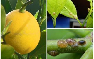 Как избавиться от щитовки на лимоне
