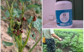 Борей от колорадского жука – инструкция по применению, цена, отзывы