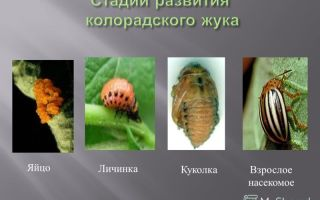 Колорадский жук – фото и описание развития личинки с превращением