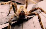 Самые ядовитые пауки в мире – фото и описание
