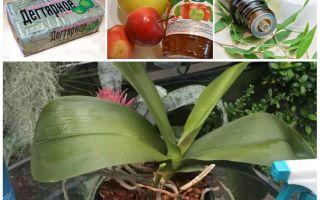 Как избавиться от тли на орхидеях в домашних условиях