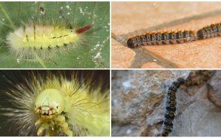 Виды гусениц – фото, названия и описание