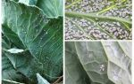 Меры борьбы с белокрылкой на капусте