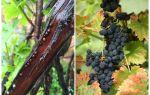 Как бороться со щитовкой на винограде