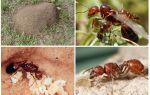 Огненные красные муравьи — фото и описание
