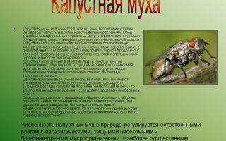Методы борьбы с капустной мухой