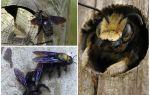 Как избавиться от древесных пчел, пчела плотник
