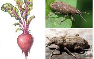 Свекловичный долгоносик: к какому отряду относится, фото, стадии развития и условия обитания