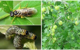 Как бороться с гусеницами на смородине