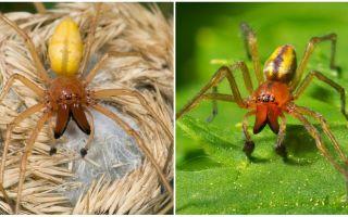 Описание и фото паука сак (хейракантиум)