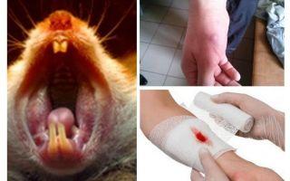 Что делать если укусила мышь, симптомы и последствия укуса
