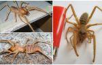 Верблюжий паук (сольпуга, паук фаланга) – фото и описание