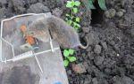 Земляная крыса в огороде — фото и методы борьбы