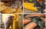 Что едят мыши в домашних условиях и в природе