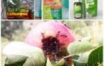 Как избавиться от муравьев на сливе