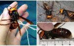 Гигантский японский шершень – фото и описание