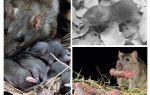 Серая крыса — фото и описание