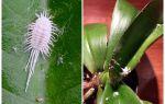Как избавиться от мучнистого червеца на орхидеях