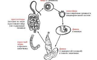 Жизненный цикл развития бычьего цепня – схема и описание