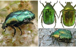 Жук бронзовка – большой зеленый блестящий жук, похожий на майского