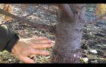 Борьба с короедом на плодовых деревьях