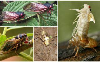 Муха цикада – фото и описание