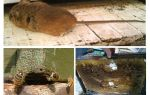 Как бороться с мышами на пасеке