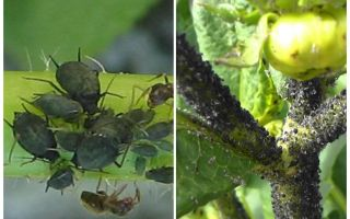 Черная тля на помидорах и огурцах — как бороться