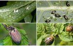 Жуки вредители сада и огорода – фото и названия