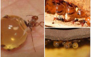 Медовые муравьи – фото и описание