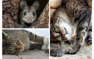Едят ли мышей кошки и коты