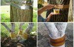 Ловчие пояса от муравьев на плодовых деревьях