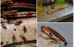 Тараканы в квартире – от чего появляются и что делать, если они завелись