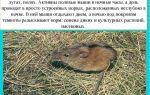 Полевая мышь – фото и описание