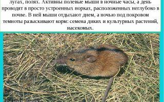 Полевая мышь — фото и описание