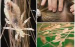 Могут ли появиться на нервной почве вши — миф или реальность