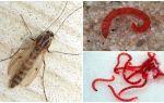 Личинки комаров – фото и описание