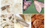 Как выглядит моль на фото, виды и отличия моли: платяная, пищевая, домашняя и другие