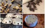 Желтые муравьи на огороде и в квартире