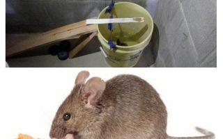 Как поймать мышь в квартире