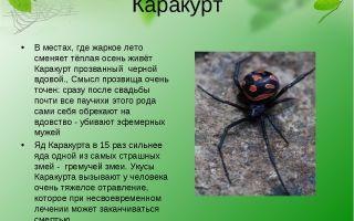Паук каракурт – фото и описание, где обитает