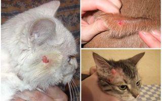 Кошка чешется до болячек на шее но блох нет – чем лечить